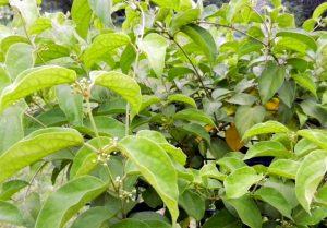 www.herbalvoice.lk-masbedda-Gymnema-sylvestre.jpg