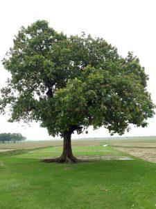 www.herbalvoice.lk-mee tree.jpg