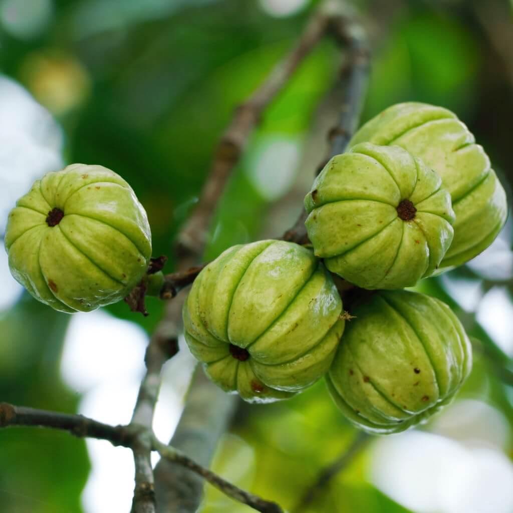 හදවතට ගුණ දෙන ඖෂධීය ගුණ පිරි ගොරකා-garcinia cambogia -www.herbalvoice.lk