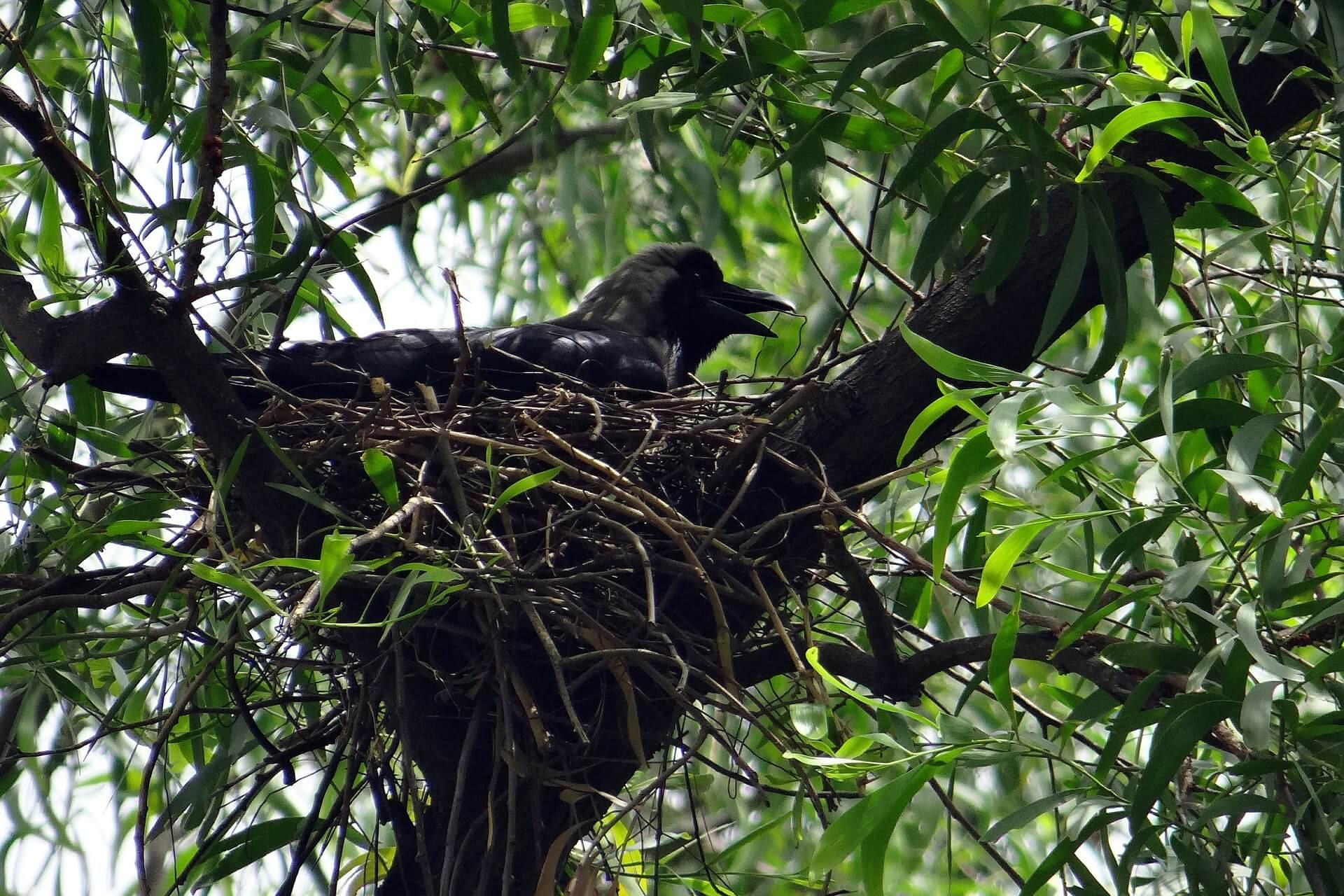කපුටා-Crow-www.herbalvoice.lk