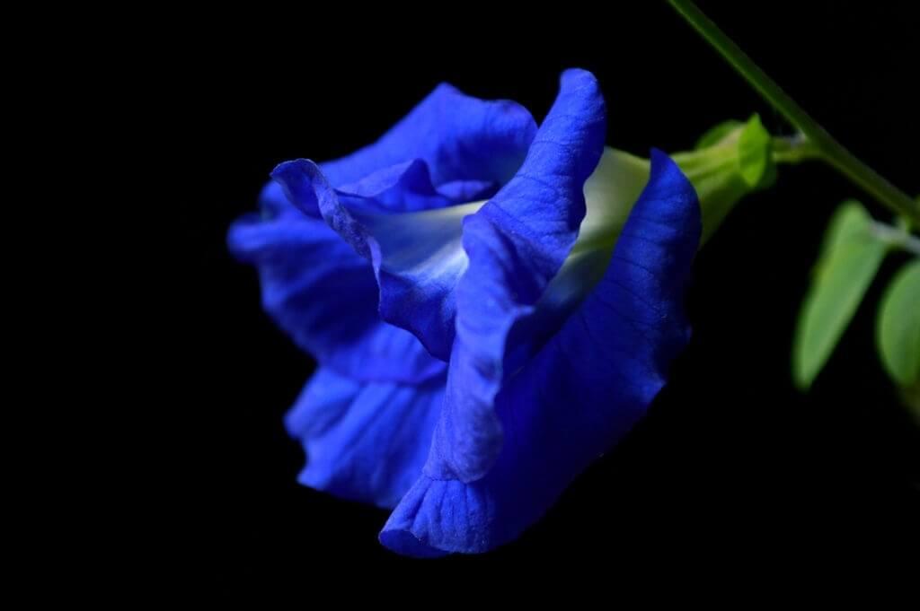 නිල් කටරොළු-Nil Katarolu-www.herbalvoice.lk