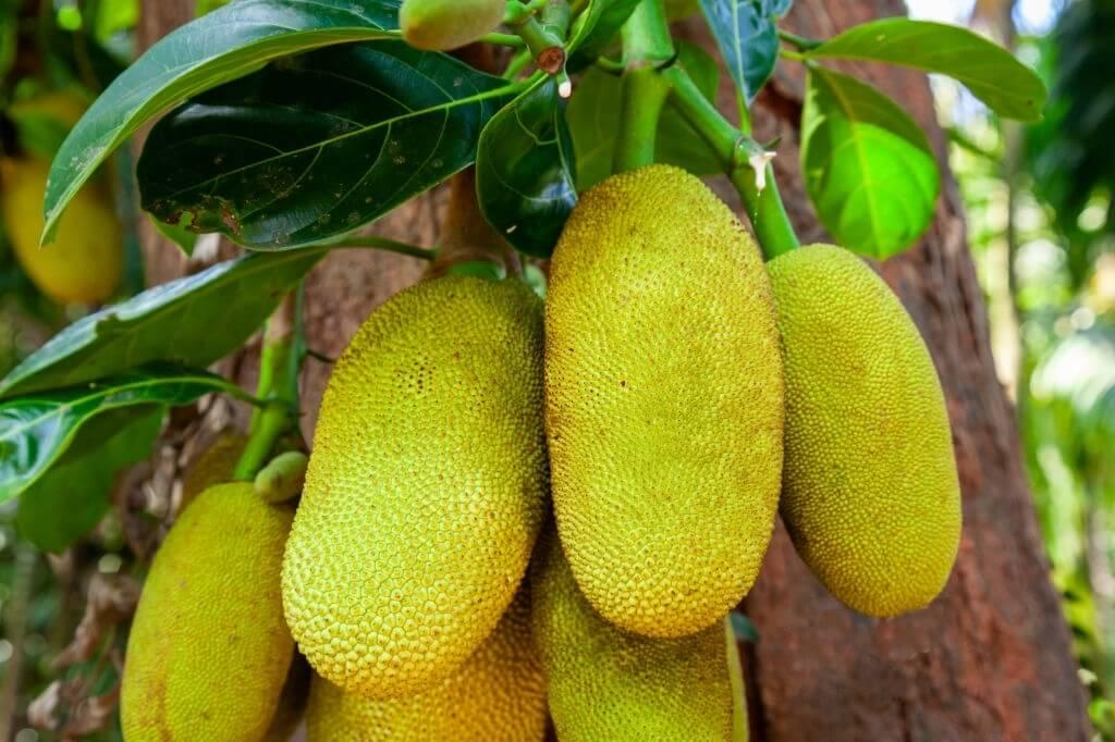 කොස් ගස-Jack Fruit-www.herbalvoice.lk