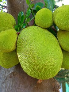 කොස් ගස-Jack Fruit-www.herbalvoice.lk