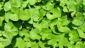 Gotukola- www.herbalvoice.lk