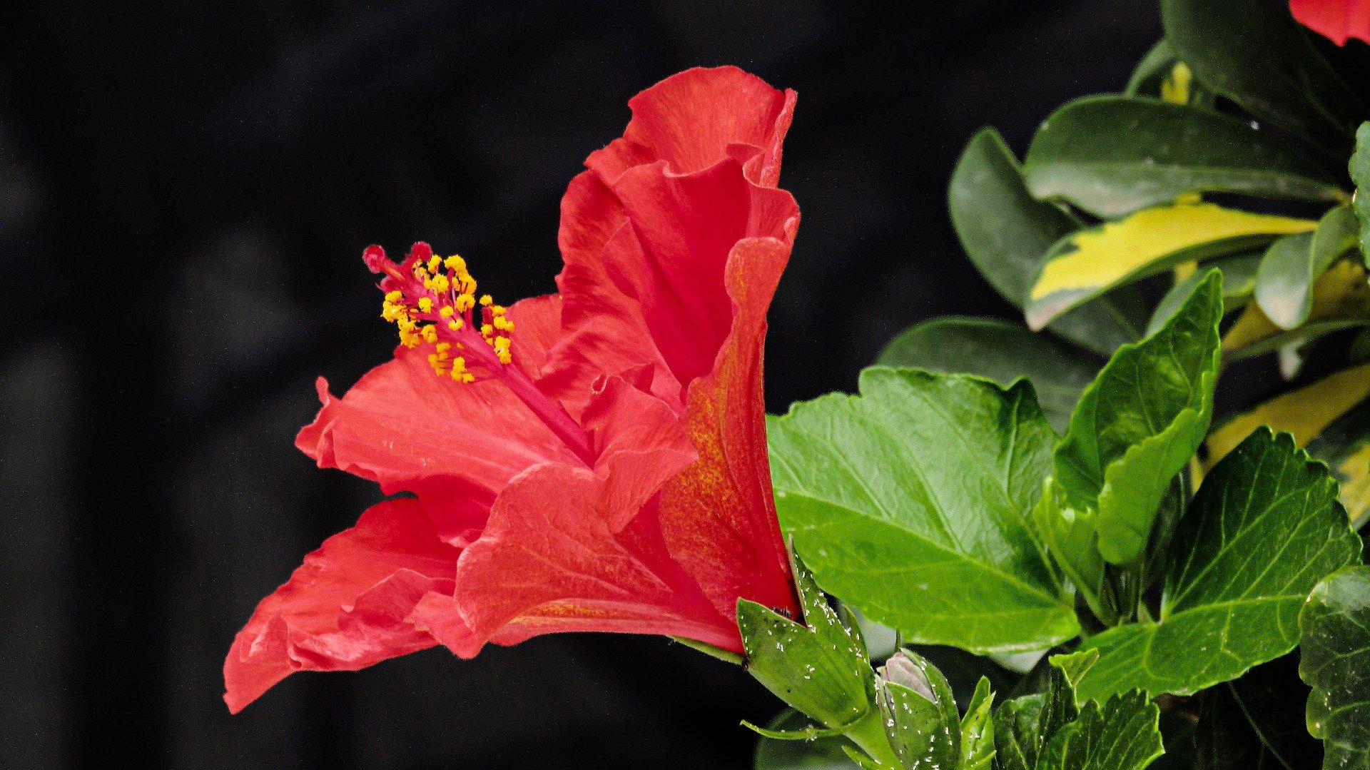 වදමල-Hibiscus Flower- Hibiscus for Skin-www.herbalvoice.lk
