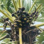 උතුරේ කල්ප වෘක්ෂය- palmyra tree products, palmyra tree uses, palmyra tree roots, palmyra tree cultivation in tamilnadu, palmyra tree in tamil, how to grow palmyra tree, palmyra tree benefits, palmyra tree images-www.herbalvoice.lkතල් ගස -